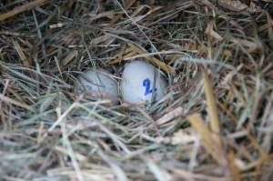první letošní vejce indických běžců