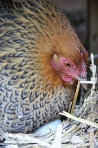 wyandotka na kachních vejcích