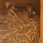 Kachna na hnízdě